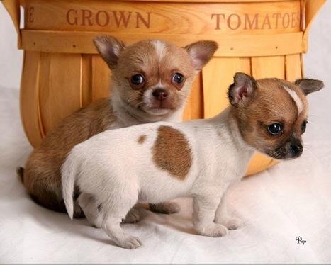 Dinh dưỡng cho Chihuahua hợp lý - Thức ăn cho thú cưng | nanapet | Scoop.it