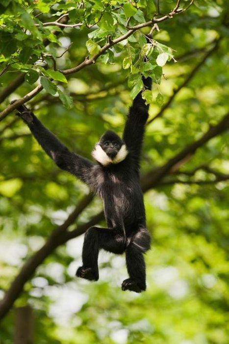 Vietnam's gibbons are barreling toward extinction. | Biodiversity IS Life  – #Conservation #Ecosystems #Wildlife #Rivers #Forests #Environment | Scoop.it