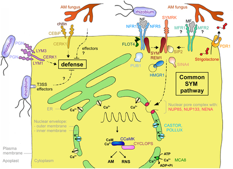 Frontiers   How membranes shape plant symbioses: signaling and transport in nodulation and arbuscular mycorrhiza   Frontiers in Plant Traffic and Transport   Plant-microbe interaction   Scoop.it