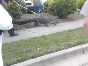 Alligator captured outside shopping center | All about water, the oceans, environmental issues | Scoop.it