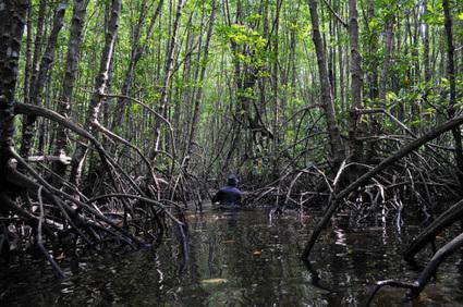 Les experts en mangroves poussent pour la restauration et la régénération des côtes biologiques   mmberthelot   Scoop.it