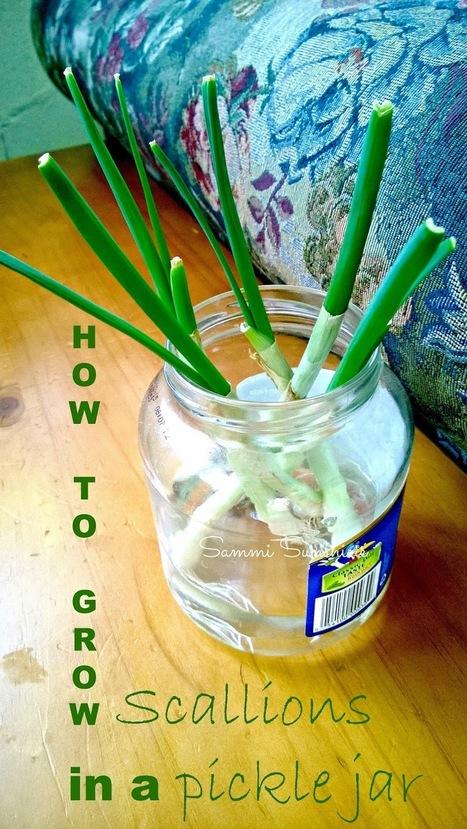 How To Grow Scallions In A Pickle Jar - Sammi Sunshine   Sammi Sunshine   Scoop.it