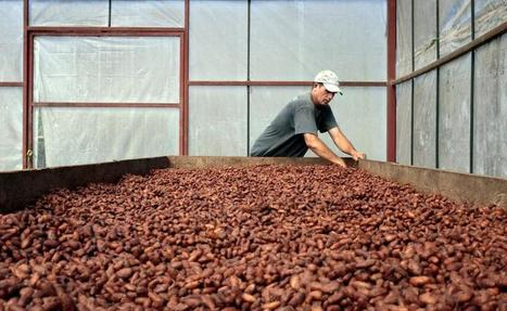As climate change threatens CentAm coffee, a cocoa boom is born | Agriculture news & innovations | Scoop.it