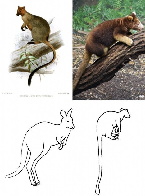 www.palaeontologyonl Fossil Focus: The evolution of tree-kangaroos | Year 12 Biology - Evolution | Scoop.it