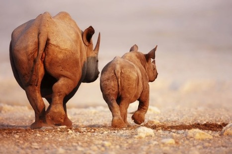 International Debate: Assessing The Risk Of Rhino Horn Trade | What's Happening to Africa's Rhino? | Scoop.it