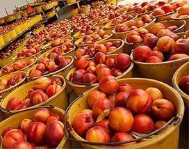 Ladderless peach and nectarine orchards explored | Sustain Our Earth | Scoop.it