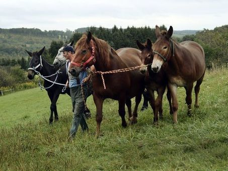 Horse-powered farming gains traction in US - The Salinas Californian   The Natural Horse   Scoop.it