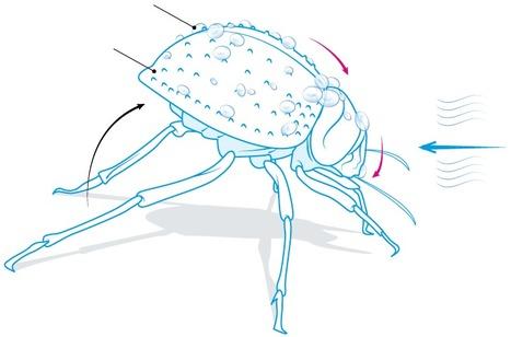 S'inspirer d'un coléoptère pour lutter contre le givre? | EntomoNews | Scoop.it