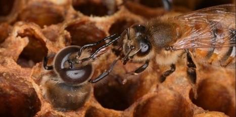 L'effet cocktail mortel pour les abeilles - Nature & environnement - Sciences et Avenir | Biodiversité & Relations Homme - Nature - Environnement : Un Scoop.it du Muséum de Toulouse | Scoop.it