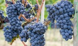 Italy's first all-woman vineyard   @FoodMeditations Time   Scoop.it