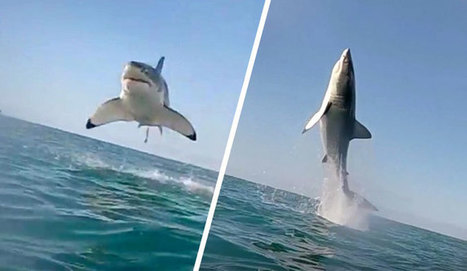 WATCH: Great White Breaching Surface Like a Submarine-Launched Missile | Plouf.be | Scoop.it