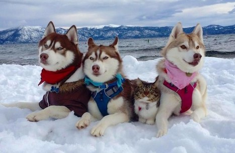 Cat Rescued by 3 Huskies is Now One of the Pack (Cuteness Overload) - Good News Network | This Gives Me Hope | Scoop.it