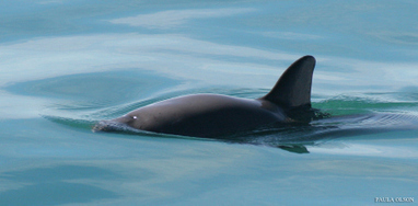 Vaquita population drops to brink of extinction | Farming, Forests, Water, Fishing and Environment | Scoop.it