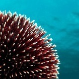 Sea urchins have invented a hi-tech composite material millions of years ago | Amazing Science | Scoop.it