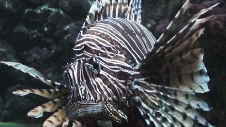 VIDEO: Lionfish infestation in Atlantic Ocean a unstoppable epidemic? Can Wipe Out Coral Reefs | OUR OCEANS NEED US | Scoop.it