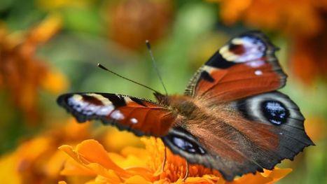 22 papillons recensés en moyenne par jardin en Wallonie et à Bruxelles | Ecologie Animale | Scoop.it