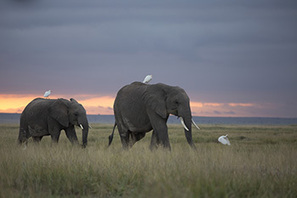 Giving the nod to Amboseli's elephants to define their landscape space needs | Wildlife Trafficking | Scoop.it