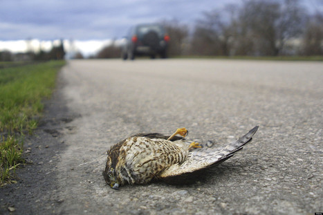 Are Birds Evolving To Dodge Traffic? | GMOs & FOOD, WATER & SOIL MATTERS | Scoop.it