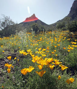 Arizona Gardeners: It's a good year to see spring wildflowers   Tri-Valley Dispatch (Casa Grande, AZ)   CALS in the News   Scoop.it