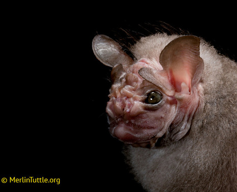Think bats are creepy? Well, check out these adorable photos.   Authentic Yosemite   Scoop.it