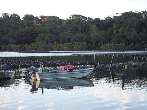 Take a Peek at the Oysters of Australia | OI Newsletter - A web family | Scoop.it
