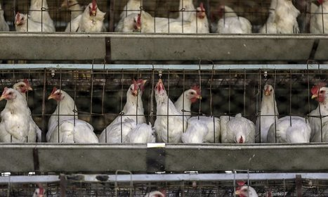 If consumers knew how farmed chickens were raised, they might never eat their meat again | @FoodMeditations Time | Scoop.it