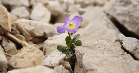 Viola striis-notata (J.Wagner) Merxm. & W.Lippert (2) | Όλυμπος | Scoop.it