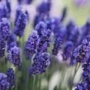 La flor de lavanda | Lavanda ( Lavandula officinalis). | Scoop.it