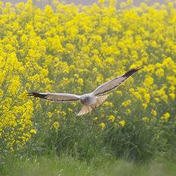 Les cultures de colza pourraient favoriser les rapaces | Ornithomedia.com | Biodiversité | Scoop.it