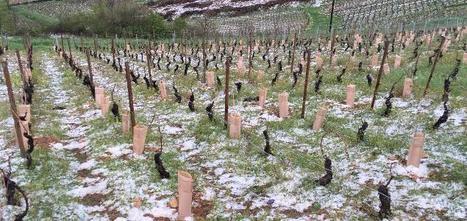 Viticulture / oenologie : La grêle détruit les bourgeons en Bourgogne et Beaujolais | Winemak-in | Scoop.it