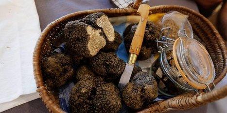 29 kilos de truffes d'été à Sainte-Alvère (24), sur le premier marché de la saison | Agriculture en Dordogne | Scoop.it