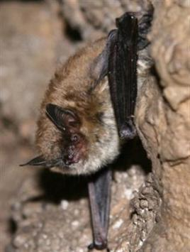 Deadly bat fungus traced to Europe, report | Food issues | Scoop.it