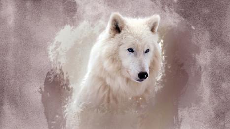 the wolf HD | Hq Wallpapers Fun | hd-wallpaper-fun | Scoop.it