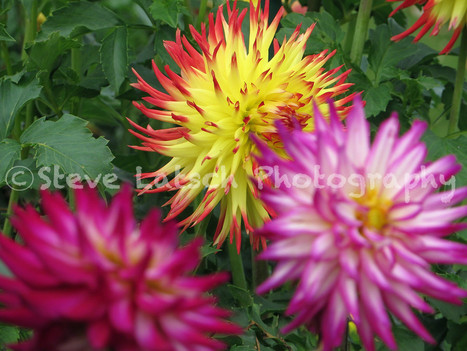 Eclipsed Dahlias | Travel Musings and Photography | Scoop.it