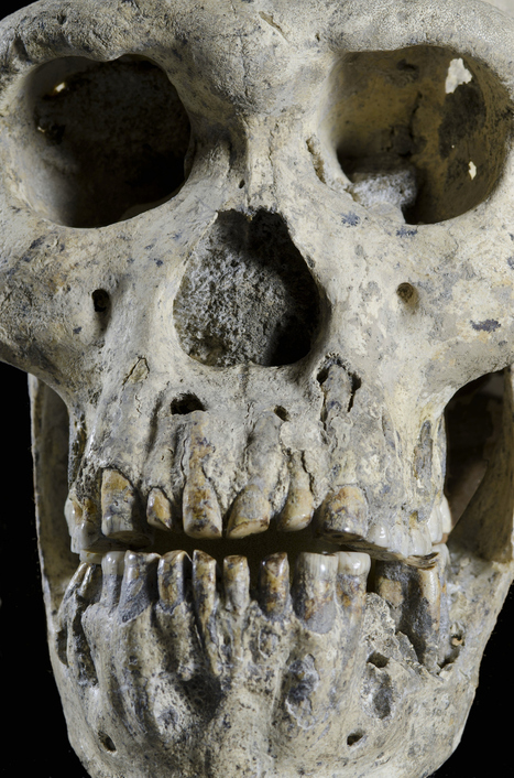 D4500 & D2600, A Complete Skull from Dmanisi, Georgia | Paleoanthropology news | Scoop.it