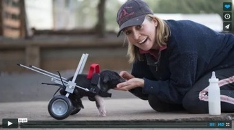 Weekly Heart Opener: The Little Pig That Could | Eileen Anglin | Compassion in Action | Scoop.it