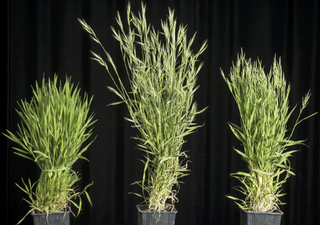 Plant Physiol: Natural variation in Brachypodium links vernalization and flowering time loci as major flowering determinants (2016) | Publications from The Sainsbury Laboratory | Scoop.it