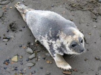Seals and Walruses Found Dead in Alaska with Mysterious Sores and Hair Loss: Scientists Baffled | Conservation, Ecology, Environment and Green News | Scoop.it