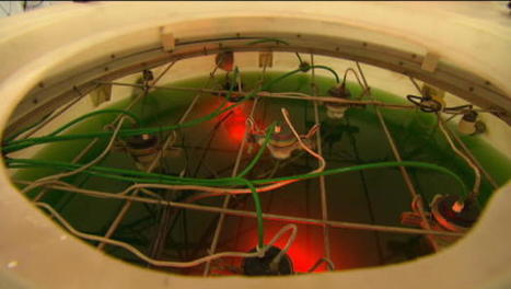 Carbon-eating algae   Algae   Scoop.it