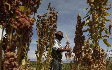 Le quinoa, bonheur des bobos, malheur des péruviens | Questions de développement ... | Scoop.it