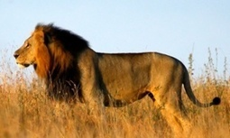#Lion among 23,000 species threatened with #extinction, say conservationists | Messenger for mother Earth | Scoop.it
