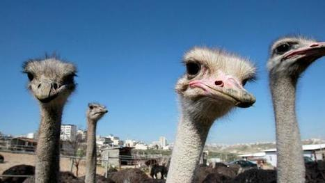Palestinian farms break new ground with ostrich and mushrooms | The Mayans and 2012 | Scoop.it