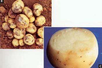 Produccion de Papa Argentina Produccion y Cultivo de Papa   CONSERVACION DE PAPA(Solanum tuberosum)   Scoop.it