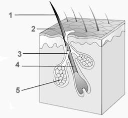 Hair Follicles | Hair Transplantation Turkey | Scoop.it