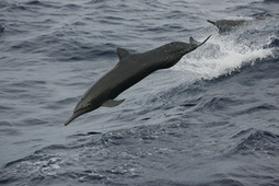 Why is this Dolphin's Fin on Backwards!? | #SciFund | Scoop.it