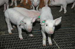 Cereal crop collaboration; China to let market decide grain prices; Soy-yeast supplement for piglet feed   animal sciences   Scoop.it
