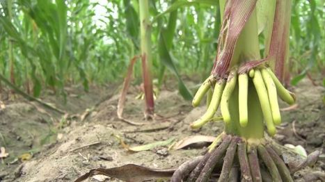 Indian Farmers Battle With Climate Smart Agriculture   VOA News   CGIAR Climate in the News   Scoop.it
