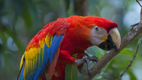 Saving Peru's Macaws | All Things Zygodactyl | Scoop.it