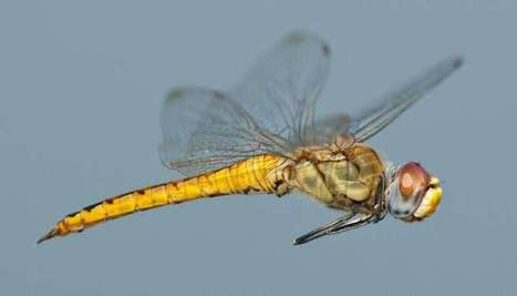 A small dragonfly is found to be the world's longest-distance flyer | Agua | Scoop.it