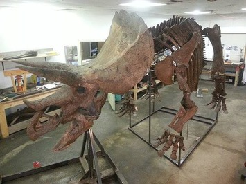 65 Million Year Old Triceratops For Sale | Antiques & Vintage Collectibles | Scoop.it
